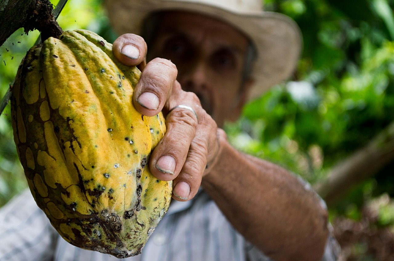 Plantaciones de cacao en Peru
